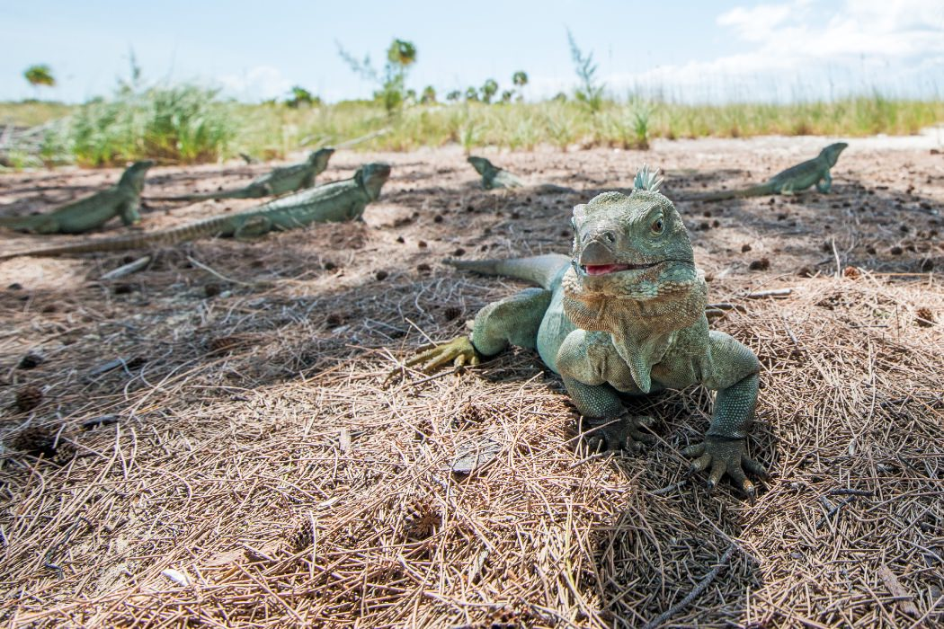Iguanas on little water cay in turks and caicos