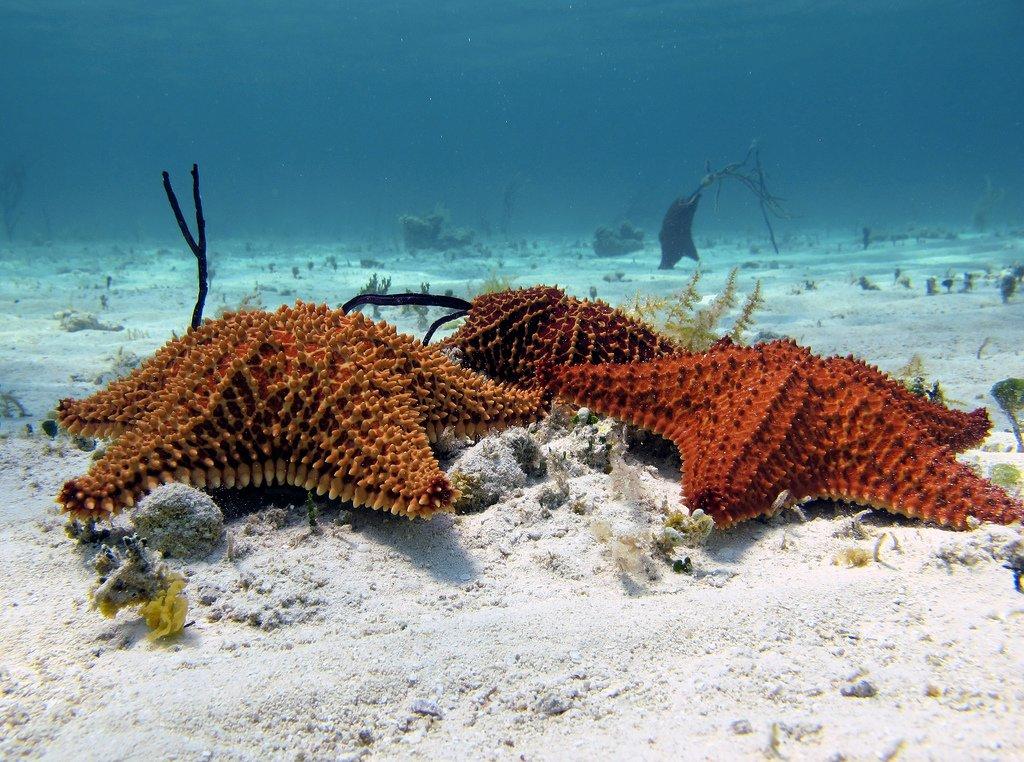 Snorkeling starfish