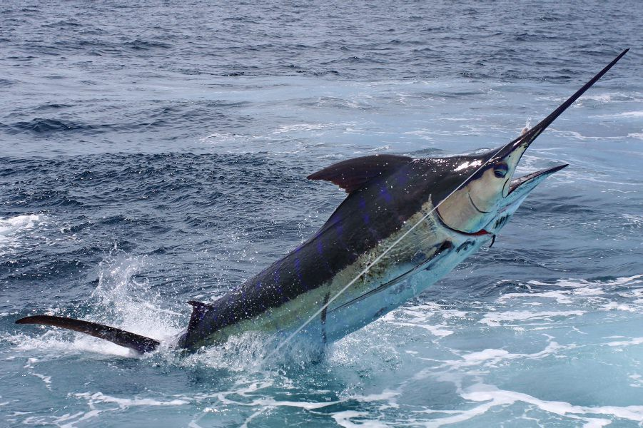blue marlin catch in turks and caicos